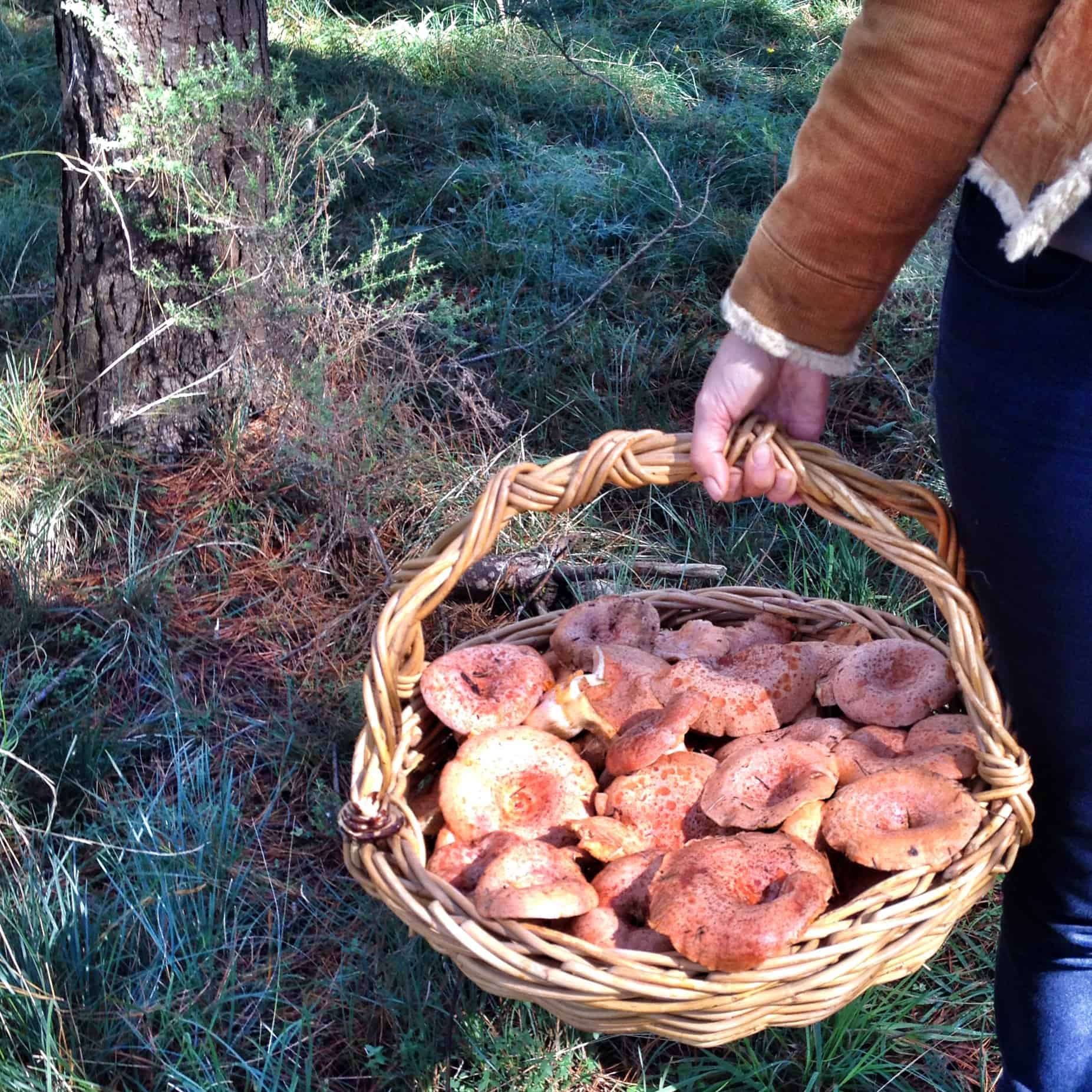 A basket full of delicious Saffron Milk Cap mushrooms.